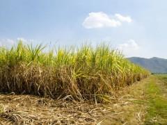 广西大力提高甘蔗叶综合利用率,利用生